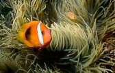 Andy-Colourful-Clownfish-a.jpg