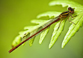 Gary-Damsel-fly-on-fern.jpg